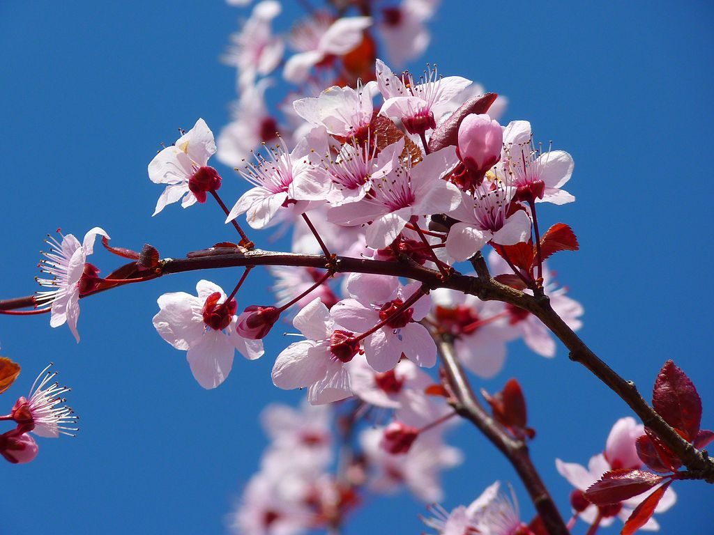 Cherry blossom in bloom up close juxtaposed by crisp clear blue sky.